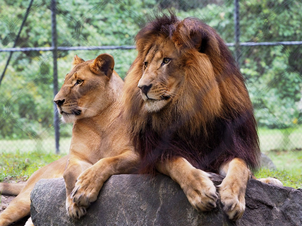 Two lions in the Cape May County Park and Zoo in New Jersey.
