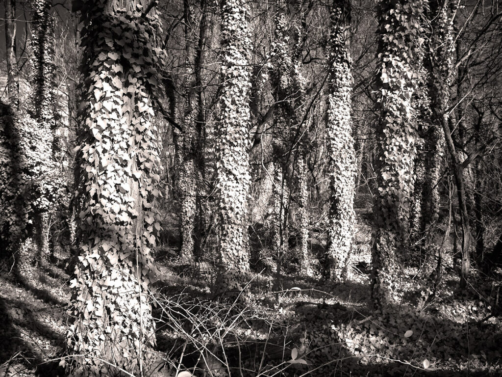 Turned white through infrared photography, kudzu can look other worldly.