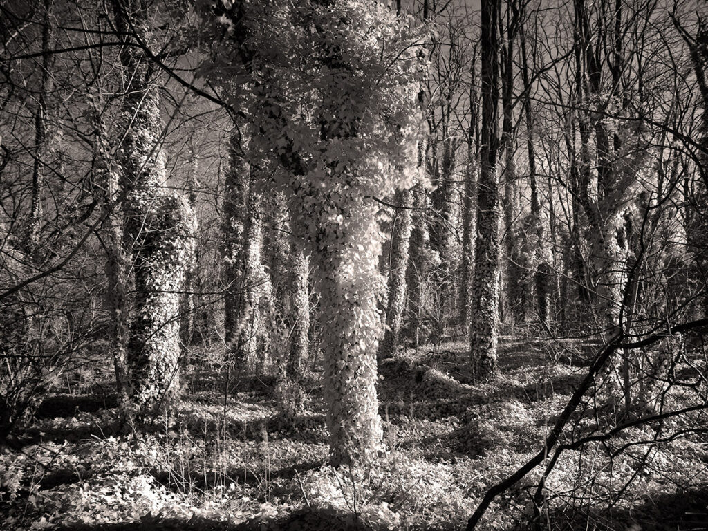 Kudzu envelopes woodlands in a way that is accentuated by infrared photography