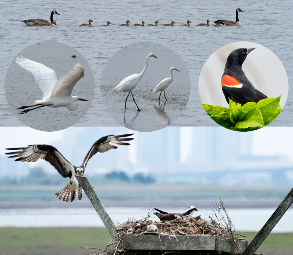 Many of the birds seen in the Edwin B. Forsythe National Wildlife Refuge in New Jersey